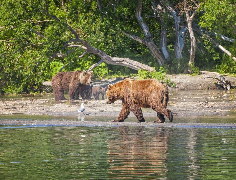 Le brun du Kamtchatka concernent le lac en été image libre de droits