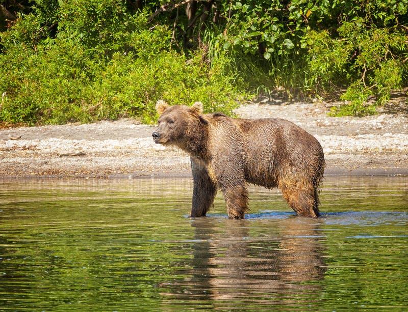 Le brun du Kamtchatka concernent le lac pendant l'été photo stock