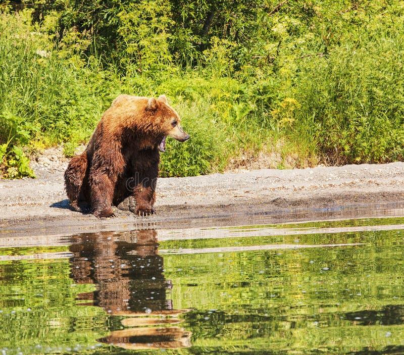 Le brun du Kamtchatka concernent le lac pendant l'été photos stock