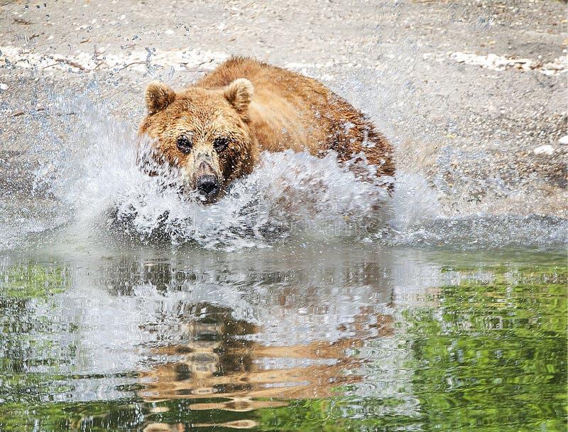 Le brun du Kamtchatka concernent le lac pendant l'été photographie stock libre de droits