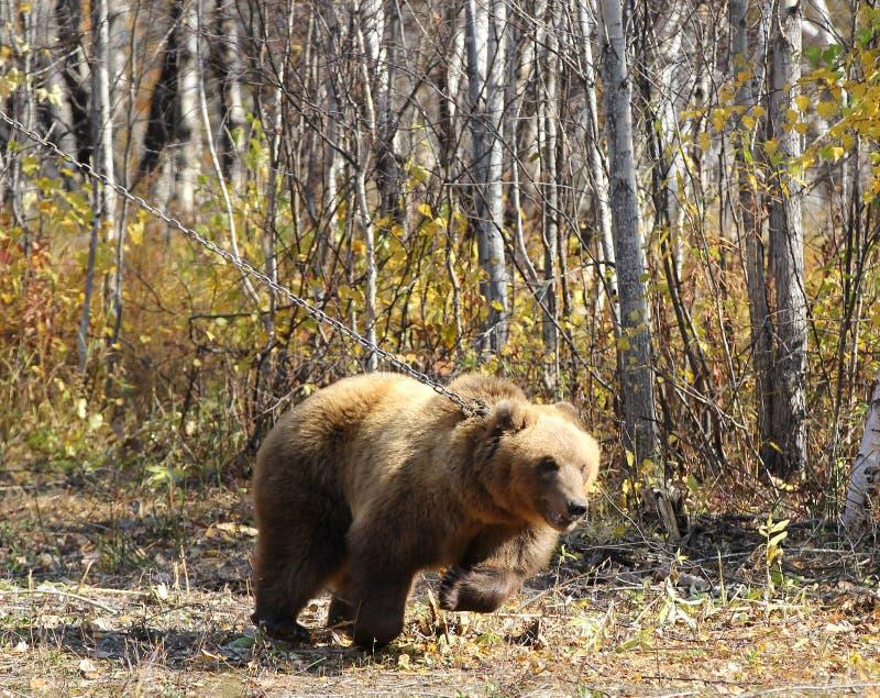 Le brun du Kamtchatka concernent une chaîne dans la forêt photos libres de droits