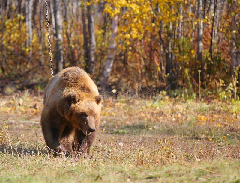 Le brun du Kamtchatka concernent une chaîne dans la forêt photos stock