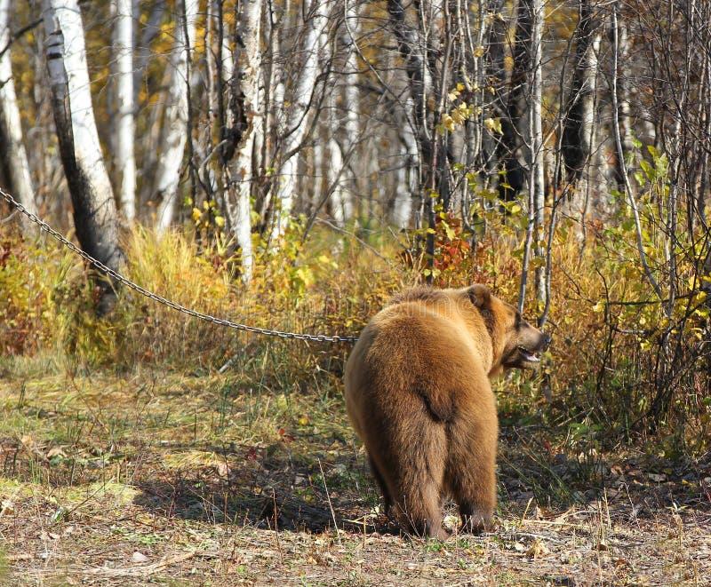 Le brun du Kamtchatka concernent une chaîne dans la forêt photographie stock