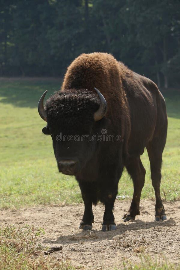 Le buffle majestueux image stock