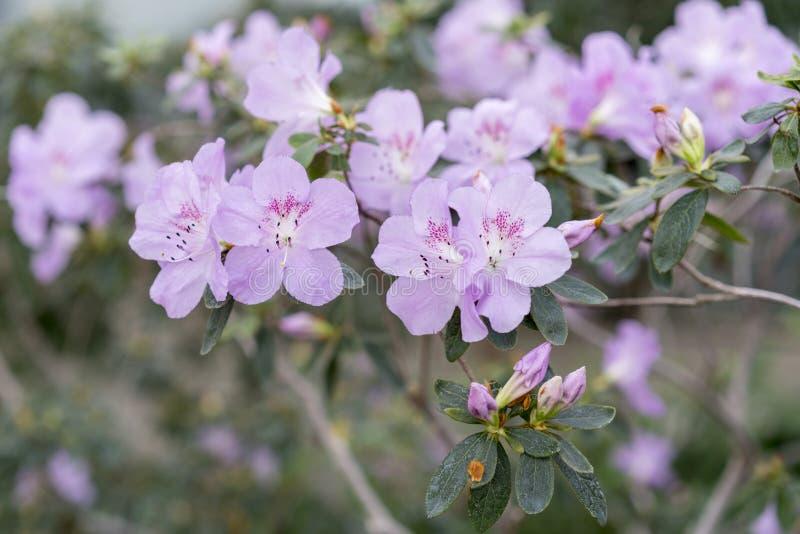 Le buisson de camélia fleurit avec les fleurs pourpres sensibles images stock