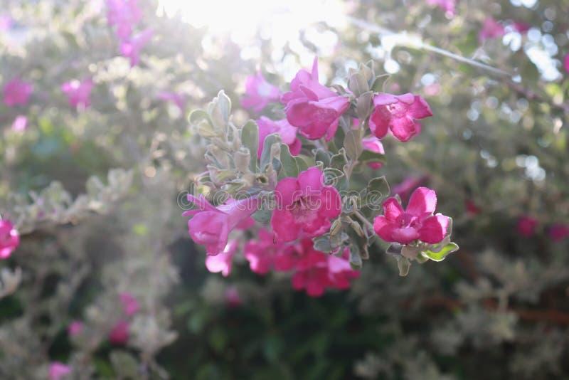 Le buisson de fleur a appelé Ash Plant, la sauge pourpre, ou le Texas Ranger sur l'arbre à l'arrière-plan de bokeh de lumière de  photographie stock libre de droits