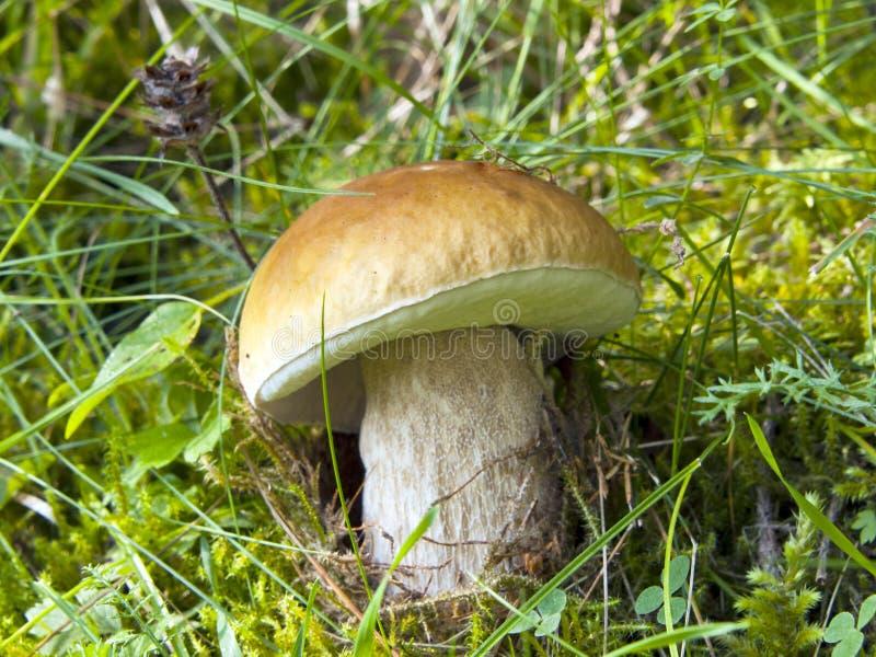 Le cèpe se développent dans un bois