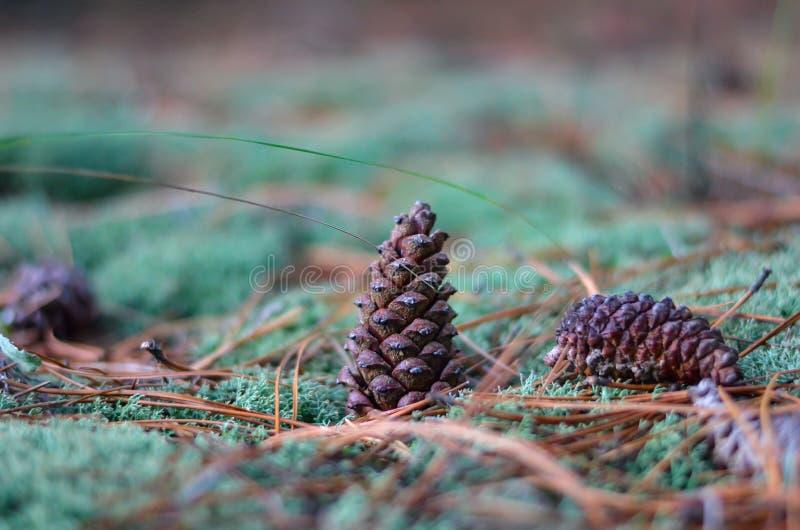 Le cône fermé de pin se tient au centre sur la mousse verte parmi les aiguilles jaunes Macro Tir ? la hauteur d'oeil Orientation  image stock