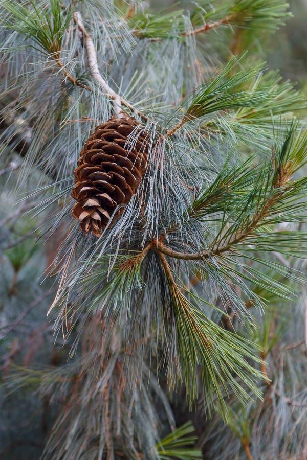 Le cône a accroché sur la branche d'un pin image stock