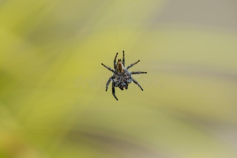 Le côté ventral d'une araignée noire et blanche a suspendu en plan rapproché de plein vol images libres de droits