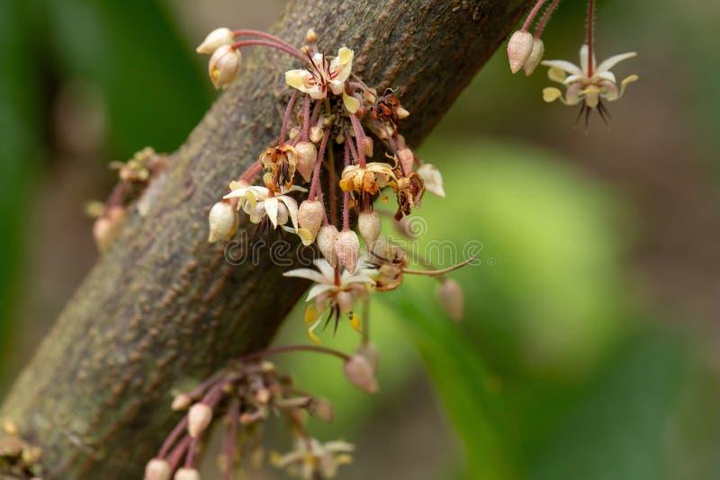 Le cacao fleurit, le fruit de cacao, cosse de cacao sur l'arbre photos stock