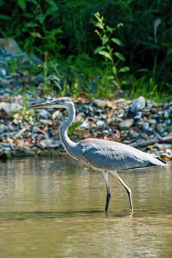 Le cacce cinerea di Grey Heron Ardea pescano alla banca del fiume immagini stock libere da diritti