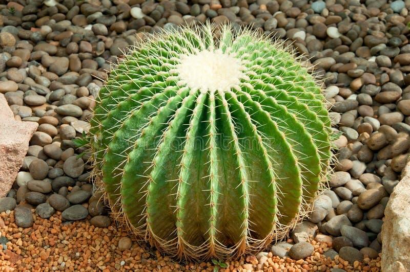 Le cactus d'or de bille photographie stock libre de droits