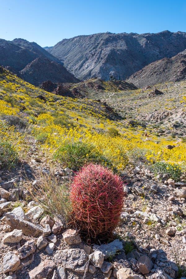 Le cactus de baril rouge solitaire se tient au-dessus de la vallée jaune photo libre de droits