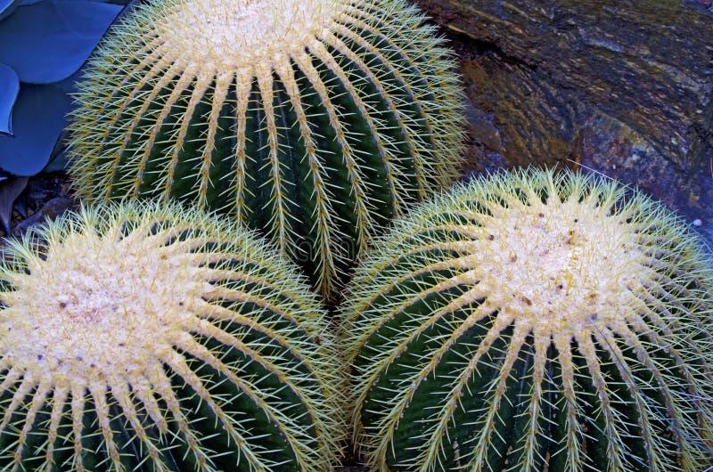 Le cactus de globe plante le plan rapproché photos libres de droits
