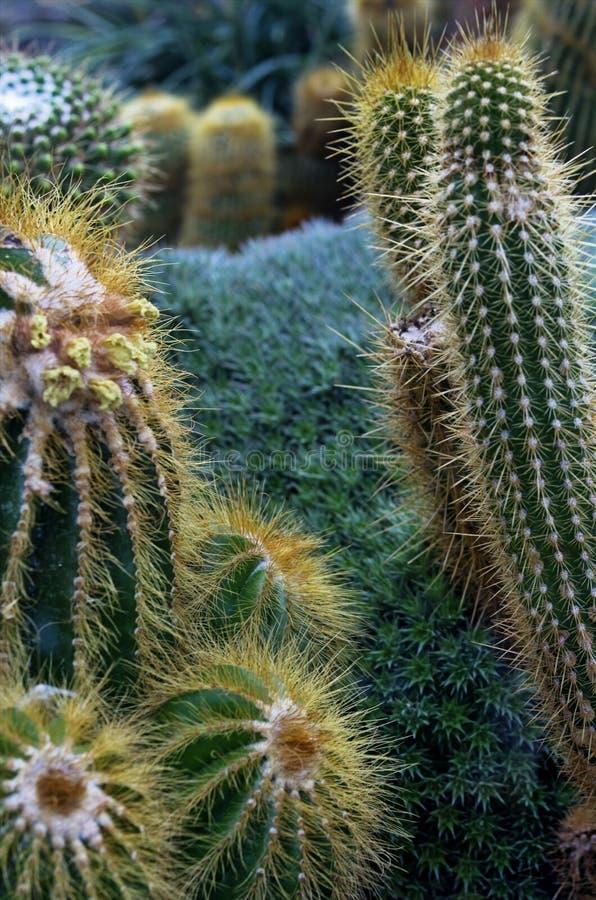 Le cactus plante le plan rapproché image libre de droits