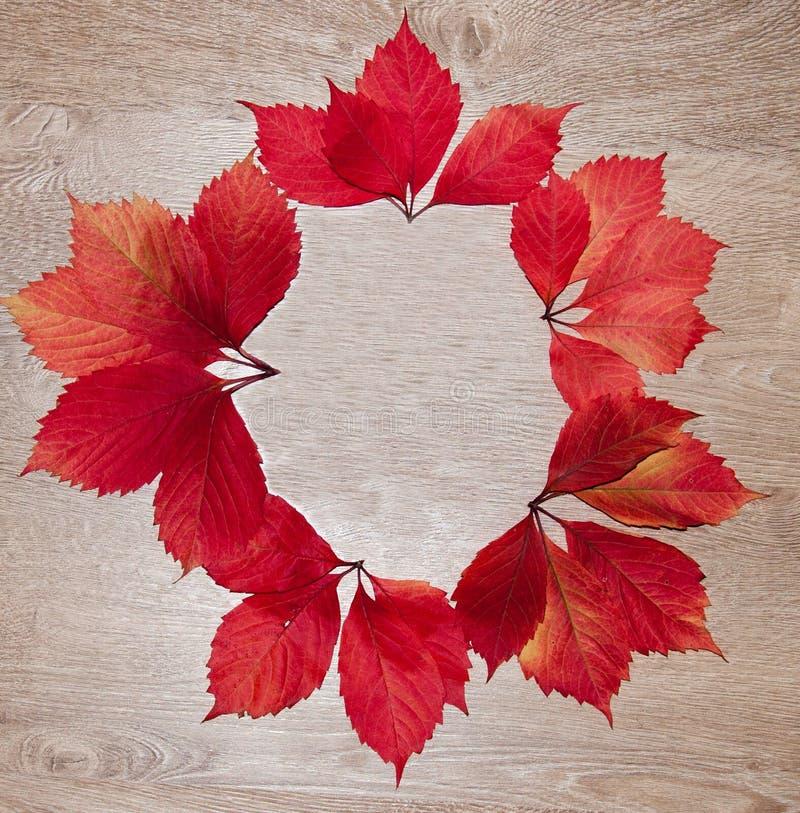 Le cadre d'automne du rouge part du parthenocissus photo stock
