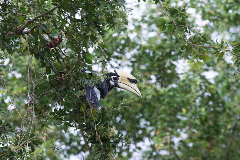 Le calao pie oriental est petit oiseau image stock