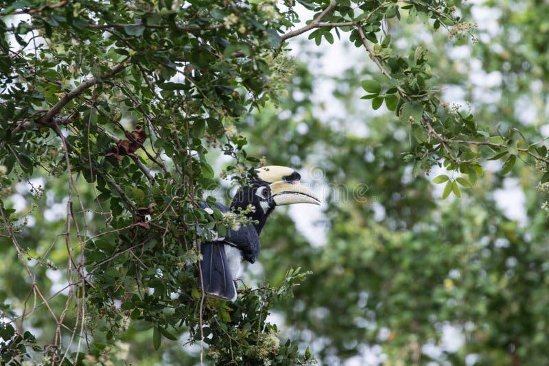 Le calao pie oriental est petit oiseau photos libres de droits