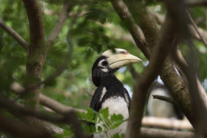 Le calao pie oriental est petit oiseau photographie stock libre de droits