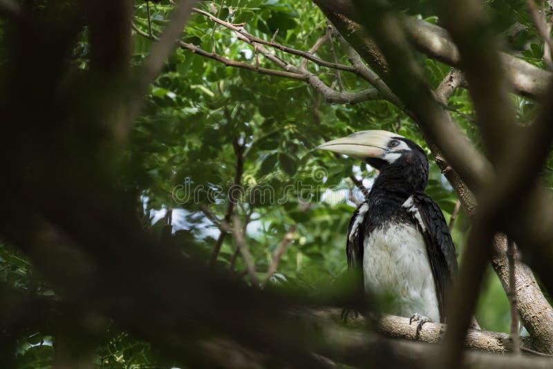 Le calao pie oriental est petit oiseau photo stock