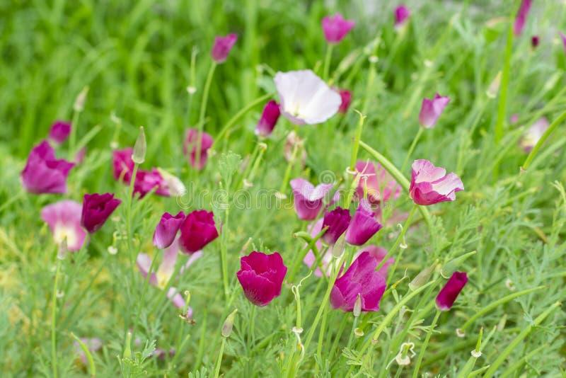 Le californica ou la Poppy Carmine King d'Eschscholzia est une herbe fleurissante Le symbole de la Californie image stock