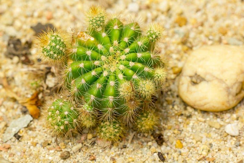 Le calochlora d'Echinopsis est un cactus Populaire dans l'agriculture photographie stock libre de droits