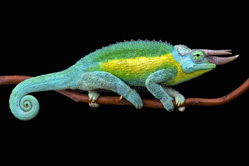 Le caméléon de Jackson (jacksonii de jacksonii de Trioceros) image libre de droits