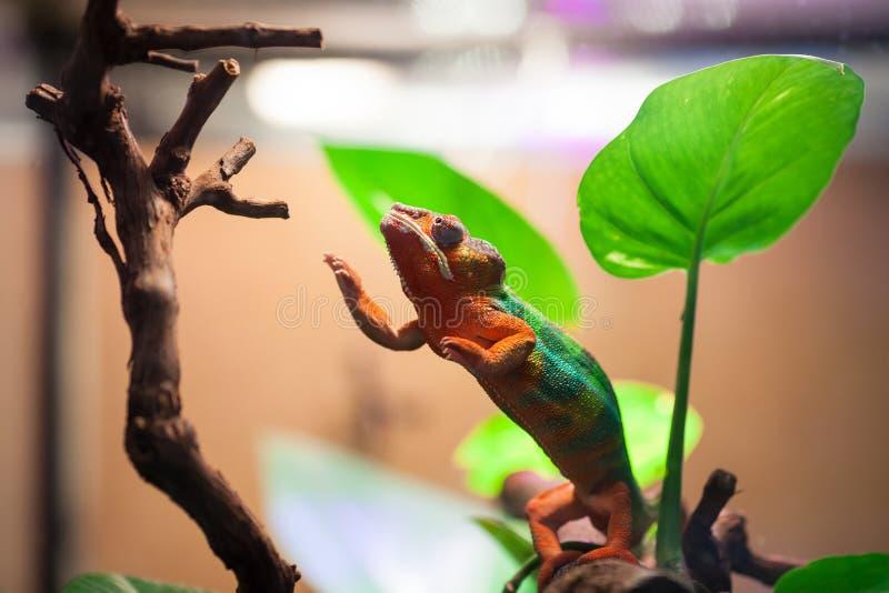 Le caméléon de panthère atteint pour une branche d'arbre Zoo de St Petersburg, Russie photographie stock