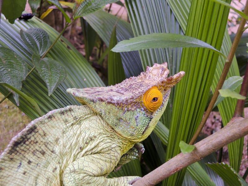 Le caméléon du pasteur (parsonii de Calumma) image stock
