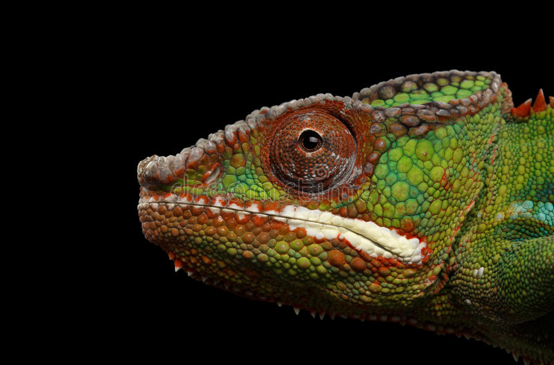 Le caméléon principal de panthère de plan rapproché, reptile dans la vue de profil a isolé le noir photographie stock