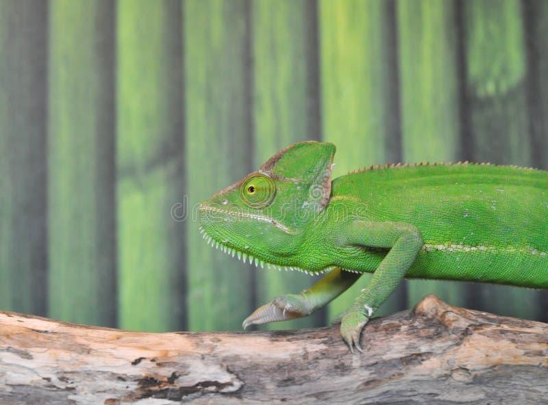 Le caméléon, un lézard vert se déplace le long d'une branche d'arbre image stock