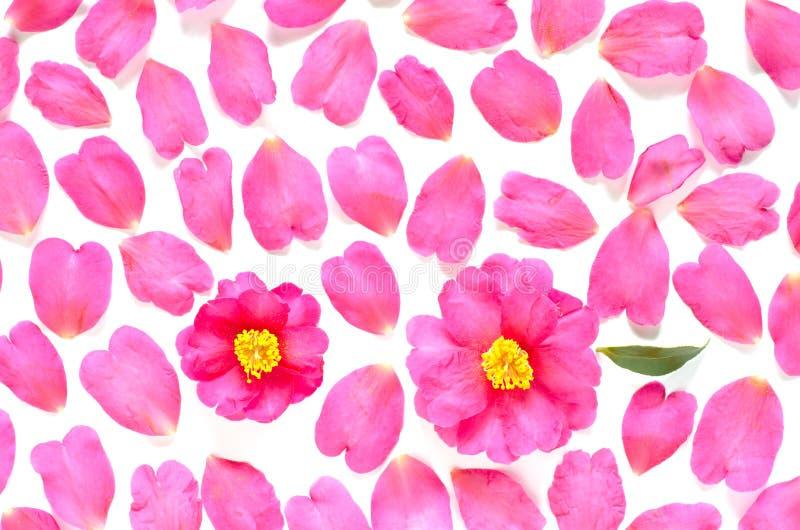 Le camélia fleurit le fond photos libres de droits