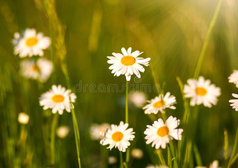 Le camomille di fioritura sistemano al sole, profondità di campo bassa immagine stock