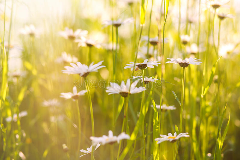 Le camomille di fioritura sistemano al sole, profondità di campo bassa fotografie stock