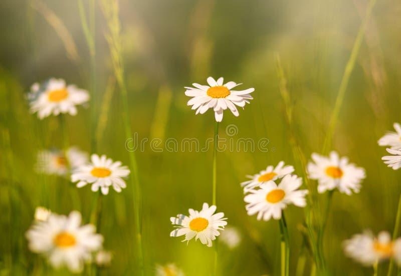 Le camomille di fioritura sistemano al sole, profondità di campo bassa immagini stock libere da diritti