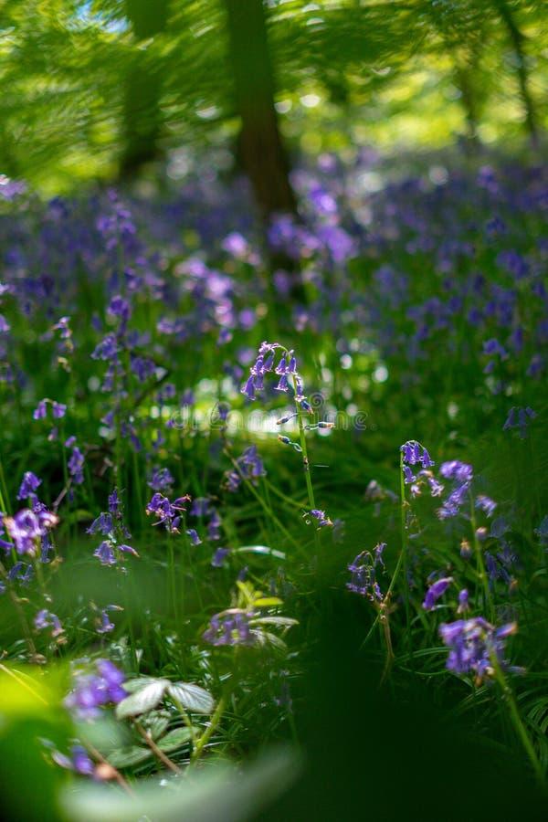Le campanule di fioritura fioriscono in primavera, Regno Unito immagini stock
