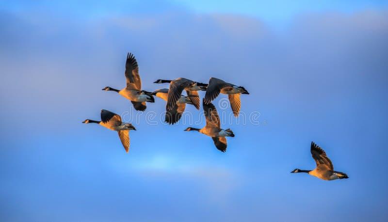 Le Canada Gooses volent dans le ciel bleu images libres de droits