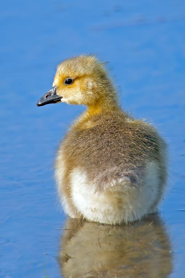 Le Canada Gosling photos stock