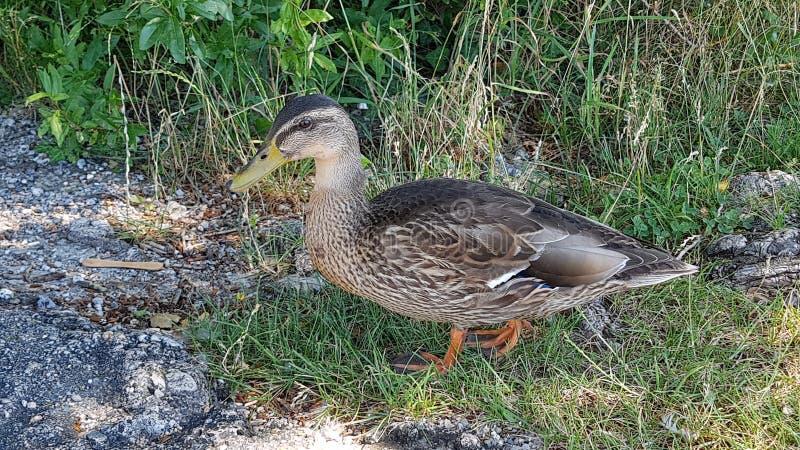 Le canard image stock