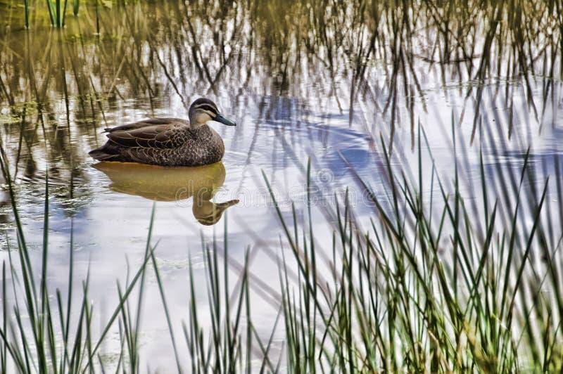 Le canard photographie stock libre de droits