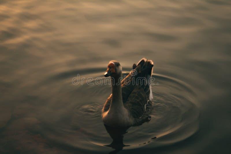 Le canard avec l'ombre d'or photographie stock libre de droits