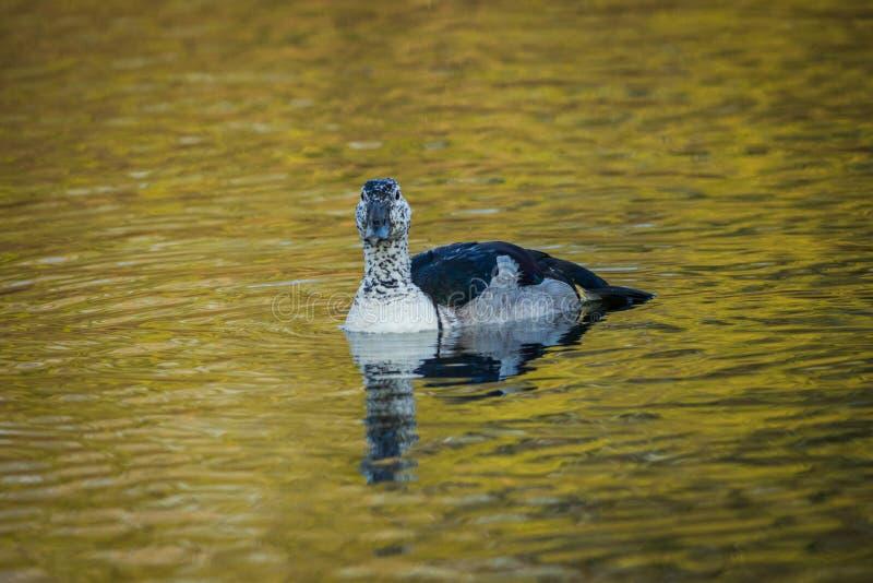 Le canard bouton-affiché, ou marécage tropical de peigne de plan rapproché africain de canard de parc national de keoladeo, bhara photo libre de droits