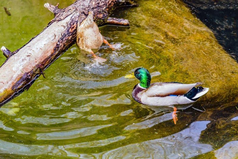 Le canard de canard et de canard sur la nourriture d'extrait d'étang de l'eau au printemps au fond photos stock