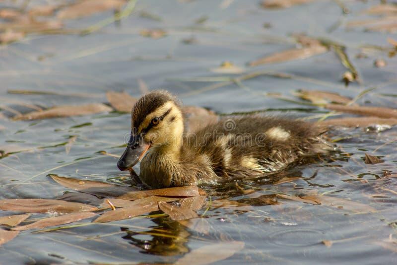 Le canard est le nom commun d'un nombre important d'oiseaux d'anseriform, généralement migrateur, appartenant à la famille d'Anat image libre de droits