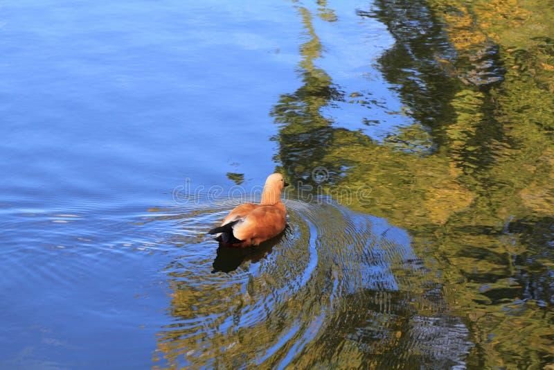 Le canard flotte sur l'eau entre les banquises sur la rivière de ressort images stock