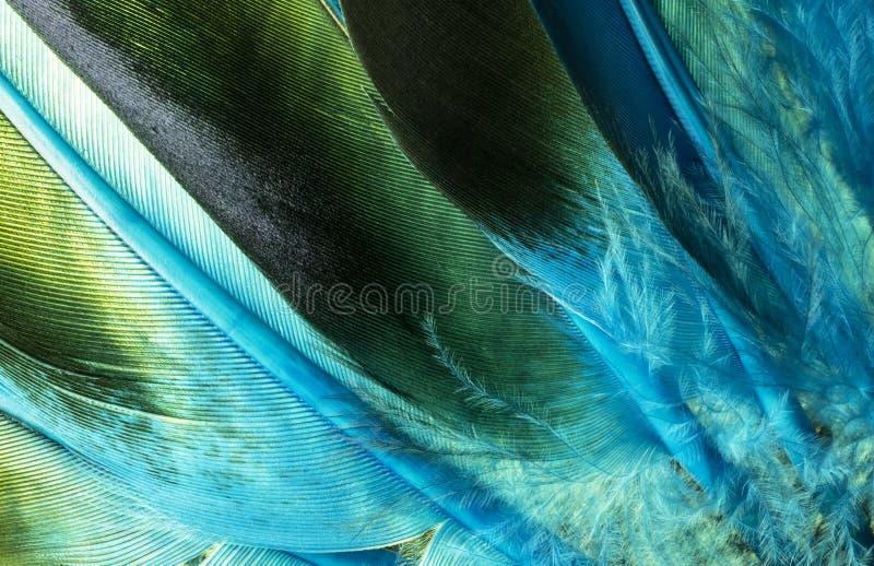 Le canard indien indigène fait varier le pas du détail image libre de droits