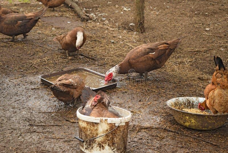 Le canard musqué photographie stock libre de droits