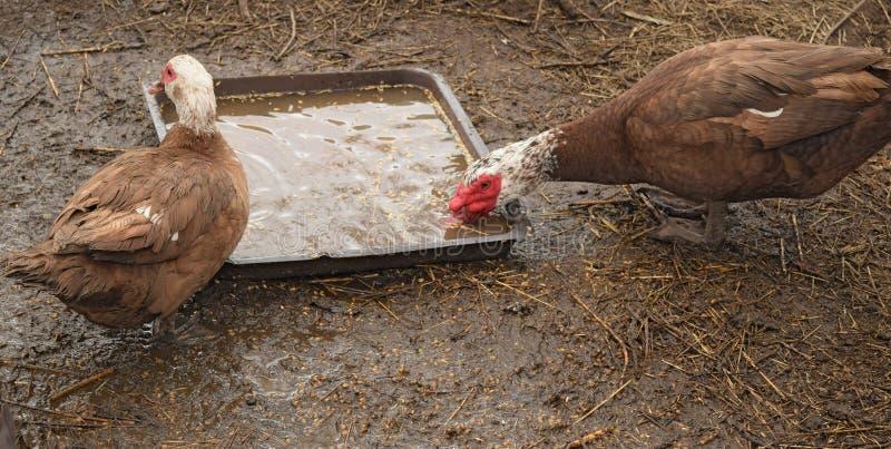 Le canard musqué photos libres de droits
