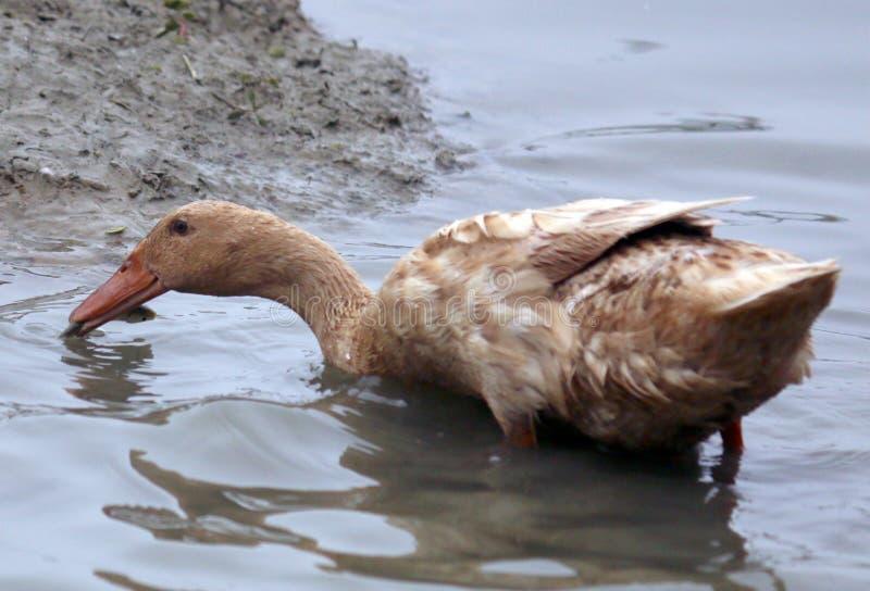 Le canard a pêché un poisson photo libre de droits
